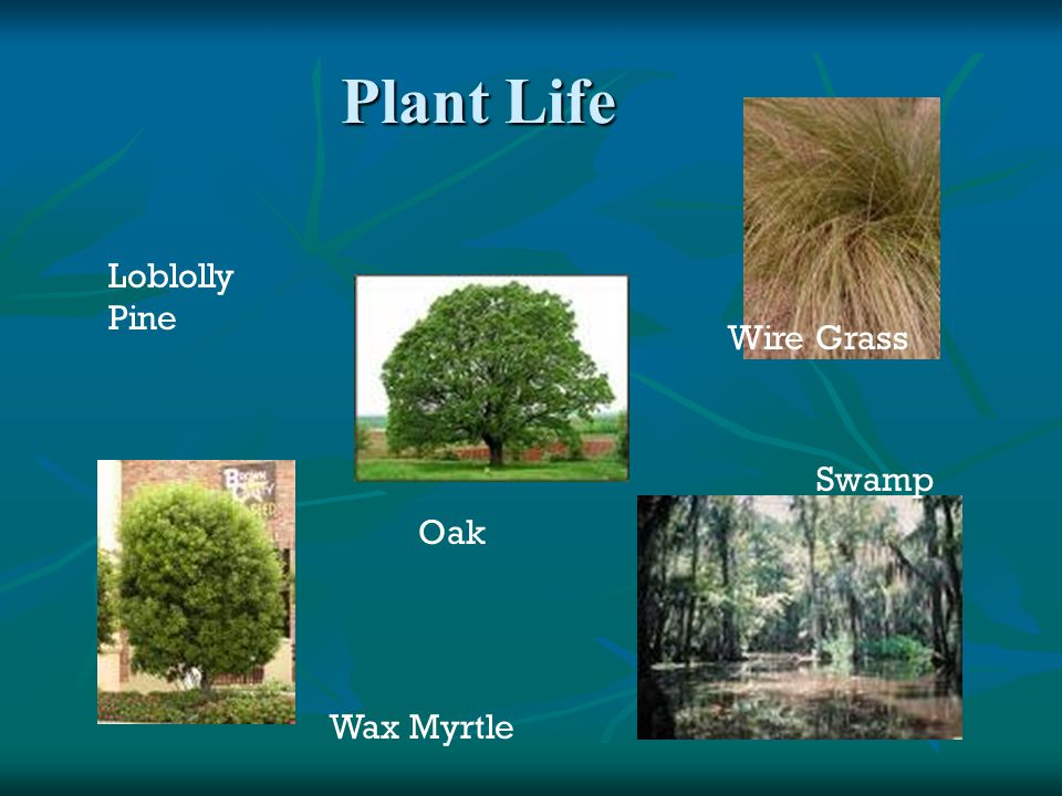 Plant Life Loblolly Pine Wire Grass Swamp Oak Wax Myrtle