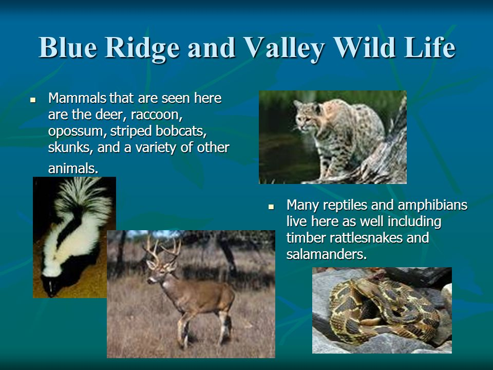Blue Ridge and Valley Wild Life