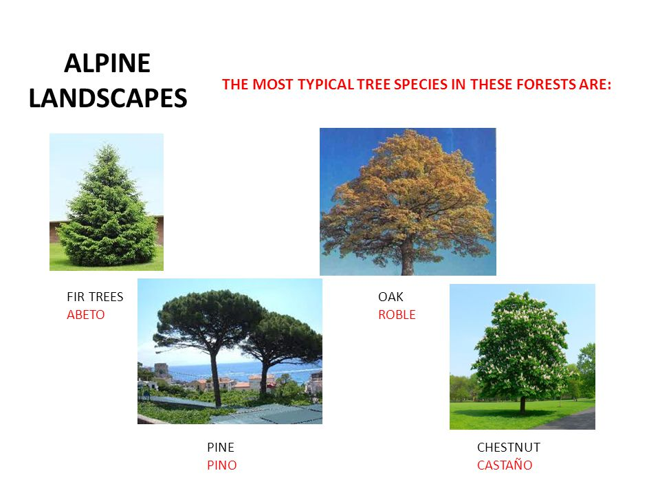 ALPINE LANDSCAPES THE MOST TYPICAL TREE SPECIES IN THESE FORESTS ARE: