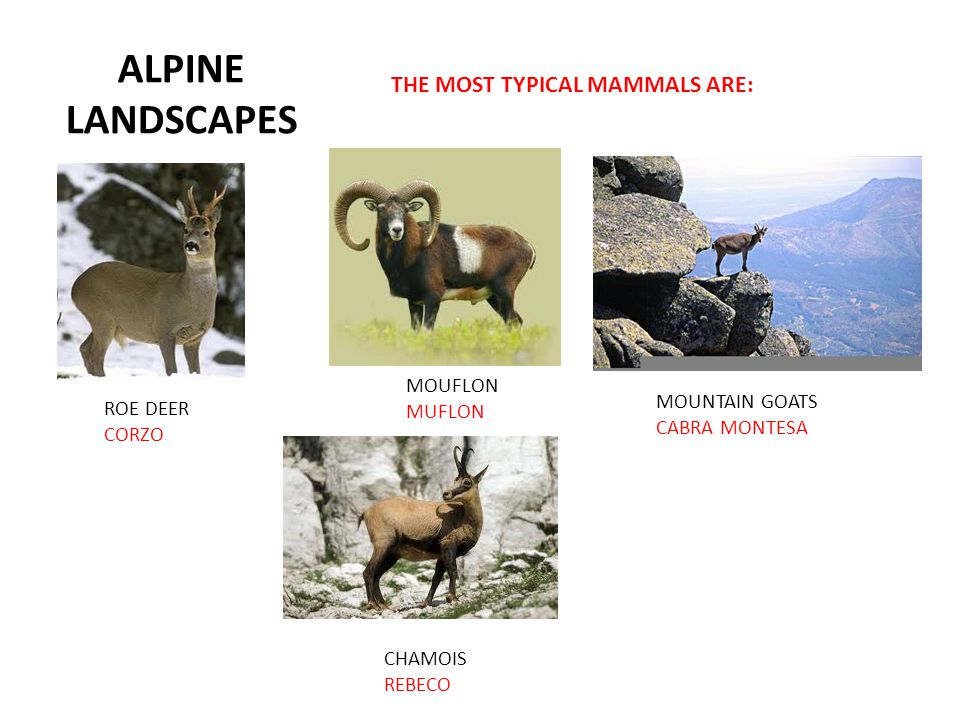 ALPINE LANDSCAPES THE MOST TYPICAL MAMMALS ARE: MOUFLON MUFLON