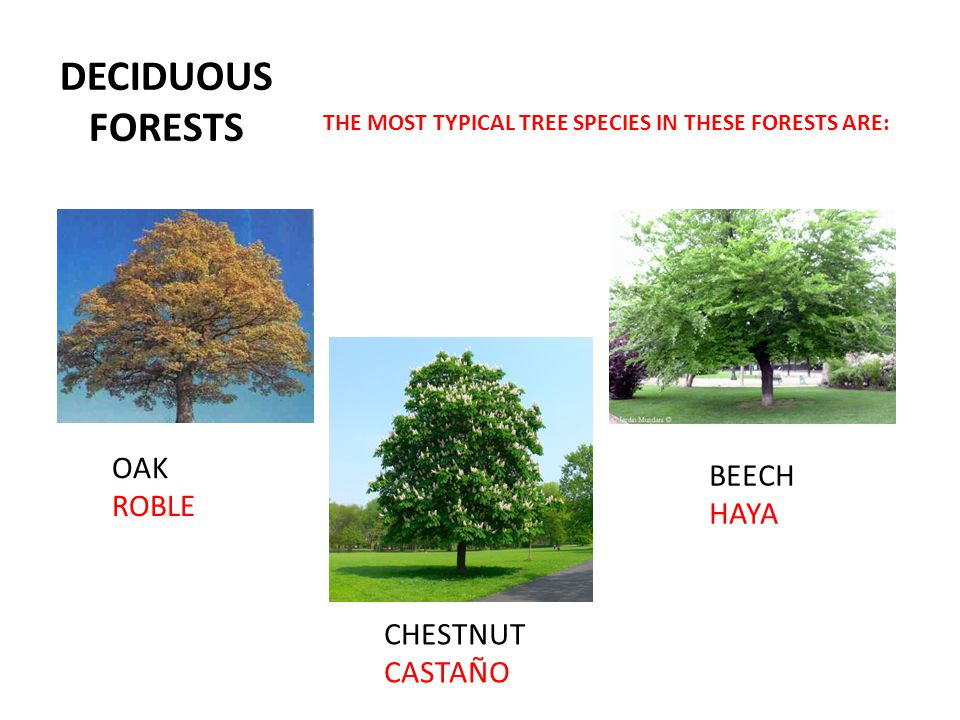 DECIDUOUS FORESTS OAK BEECH ROBLE HAYA CHESTNUT CASTAÑO
