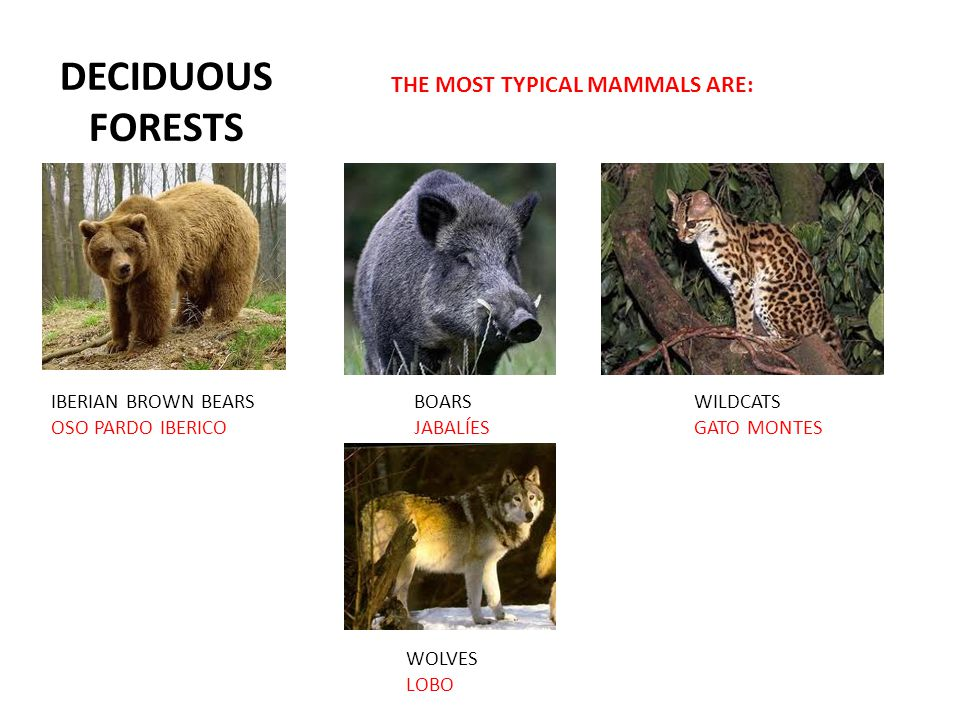 DECIDUOUS FORESTS THE MOST TYPICAL MAMMALS ARE: IBERIAN BROWN BEARS