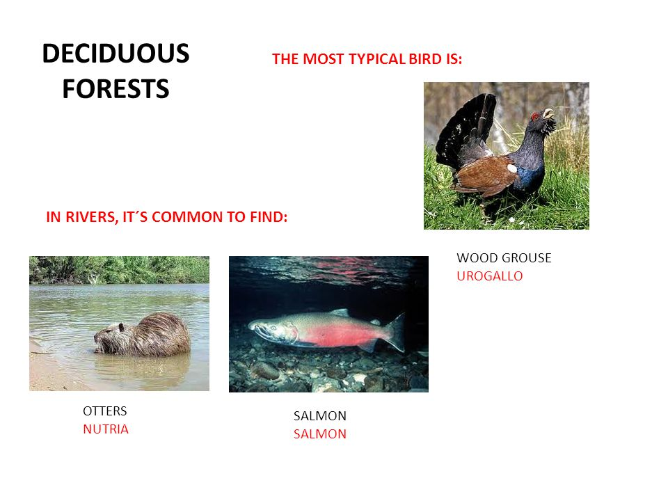 DECIDUOUS FORESTS THE MOST TYPICAL BIRD IS: