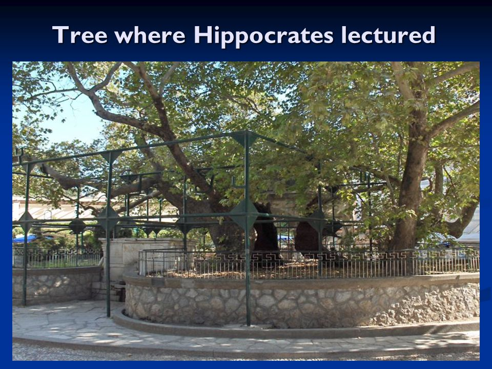 Tree where Hippocrates lectured