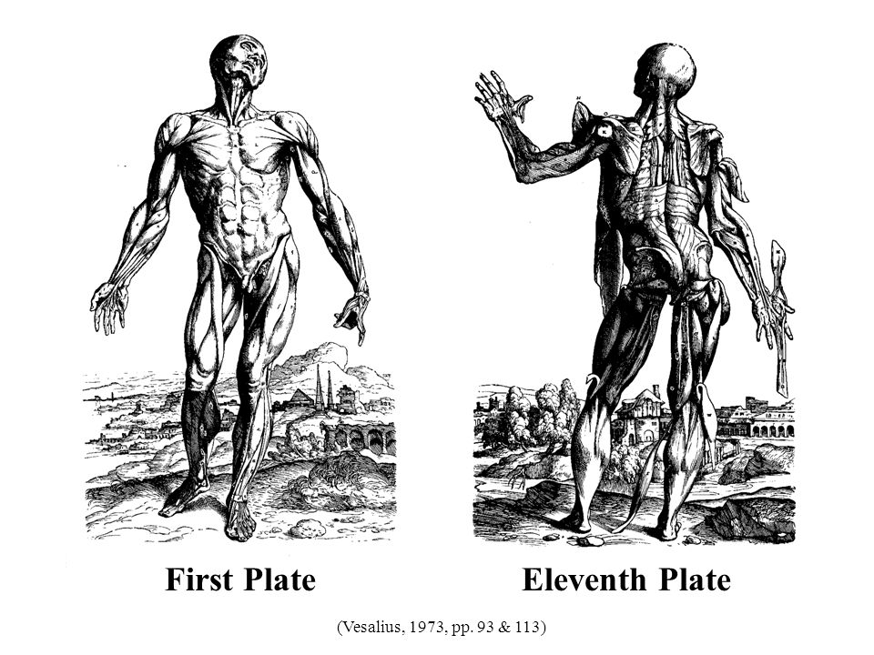 First Plate Eleventh Plate (Vesalius, 1973, pp. 93 & 113) 31