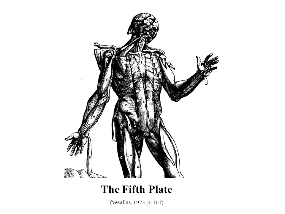 The Fifth Plate (Vesalius, 1973, p. 101) 32