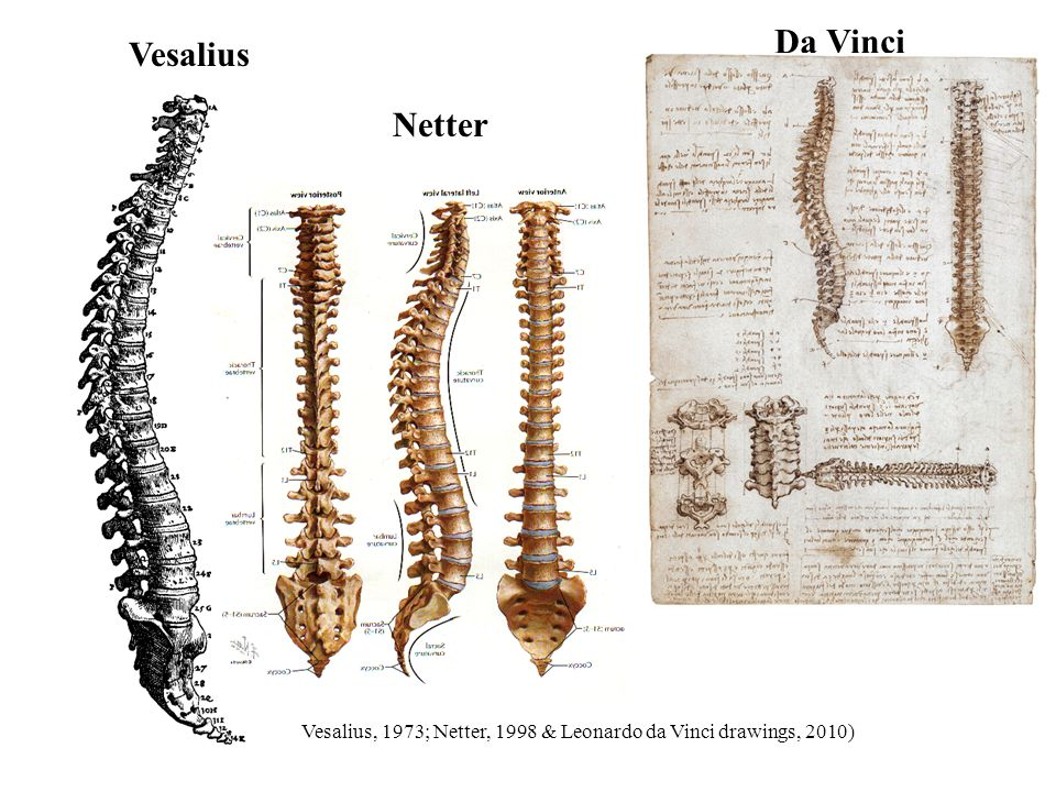 Da Vinci Vesalius Netter