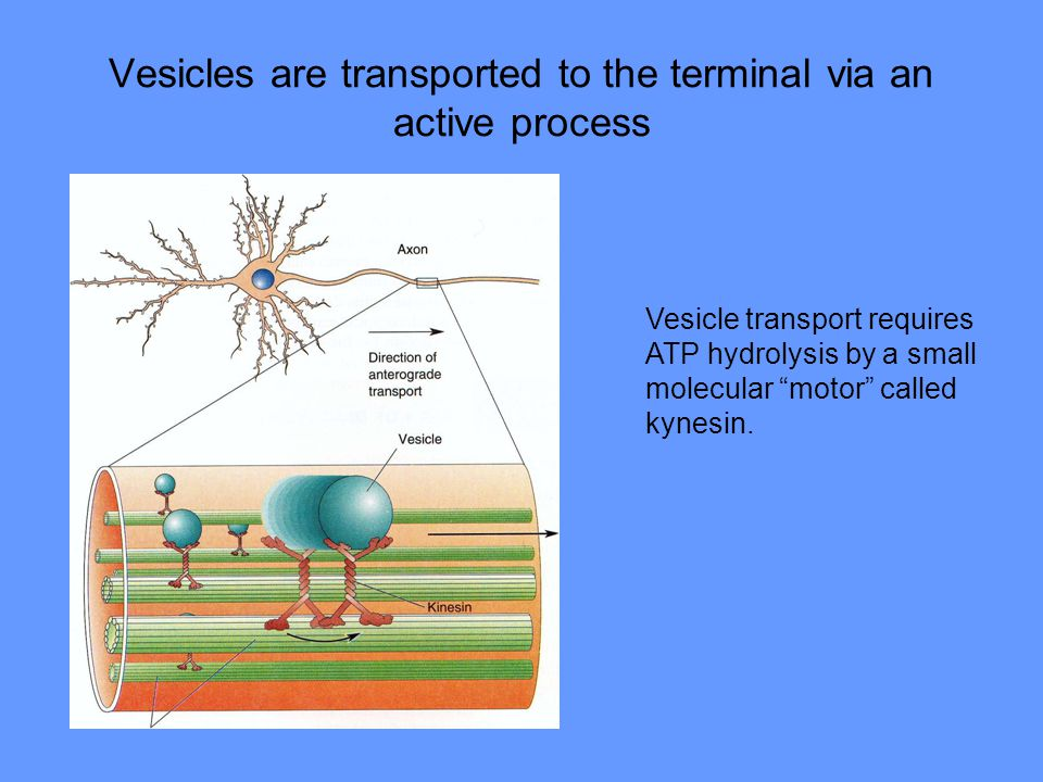 Vesicles are transported to the terminal via an active process