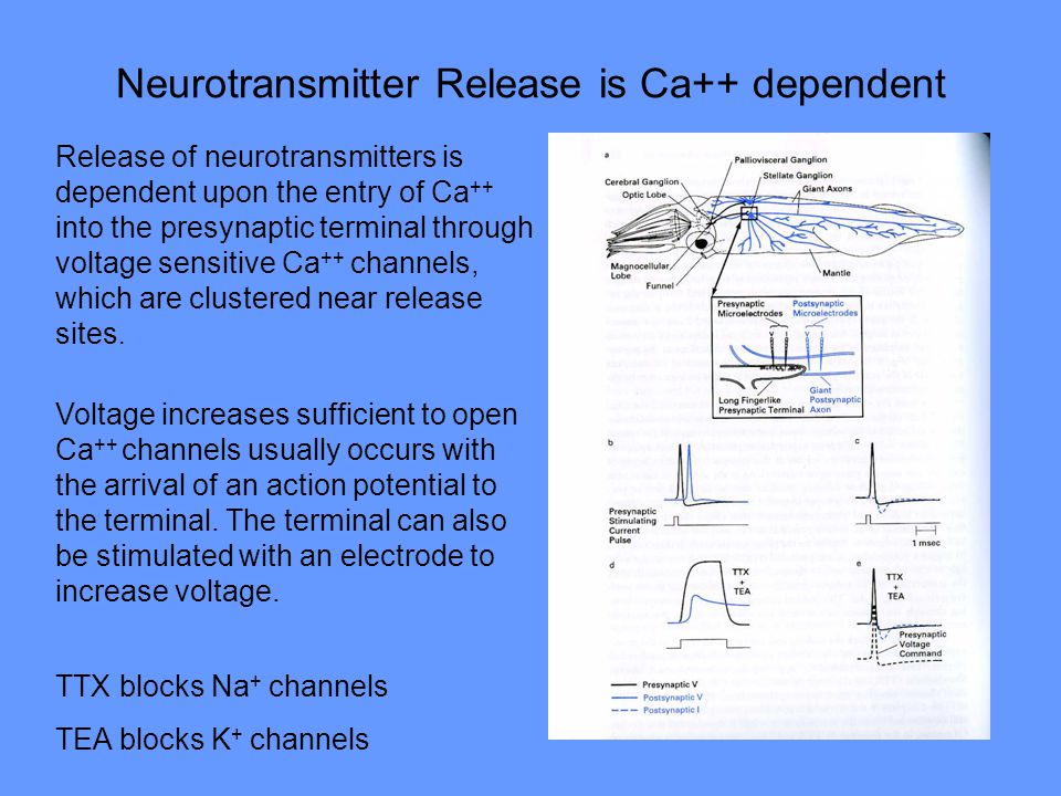 Neurotransmitter Release is Ca++ dependent