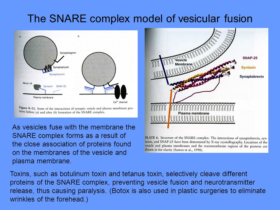 The SNARE complex model of vesicular fusion