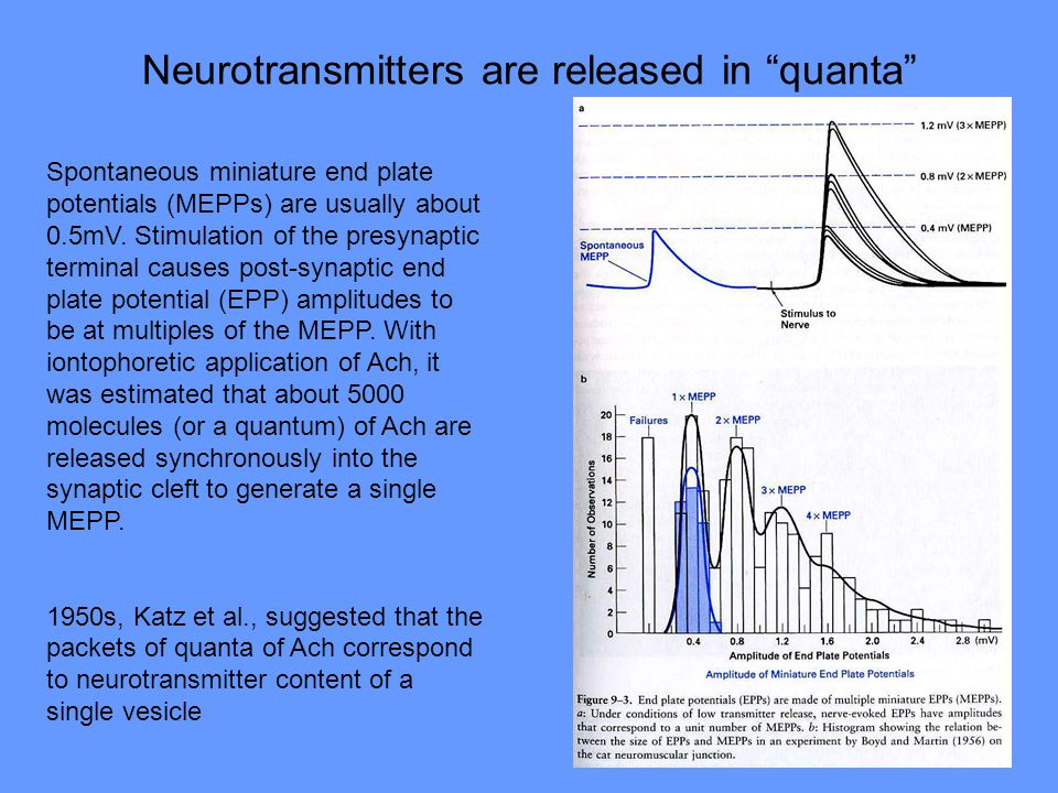Neurotransmitters are released in quanta