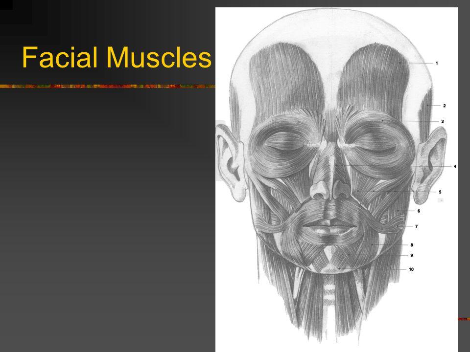 Facial Muscles