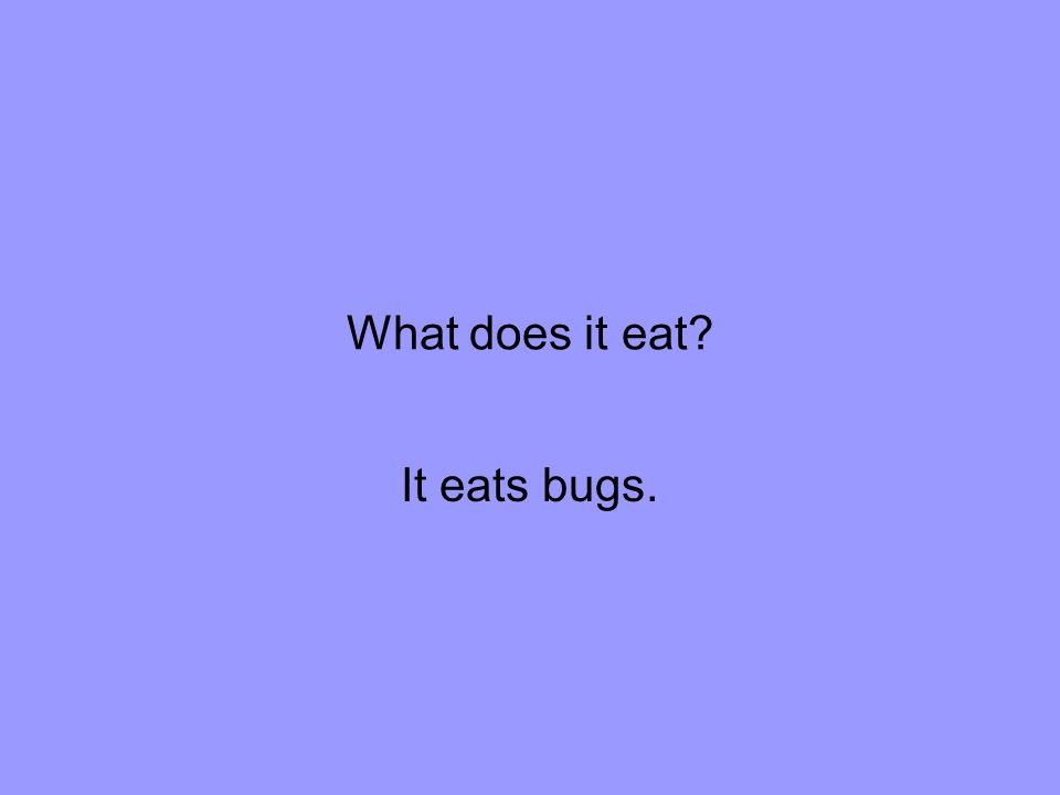 What does it eat It eats bugs.