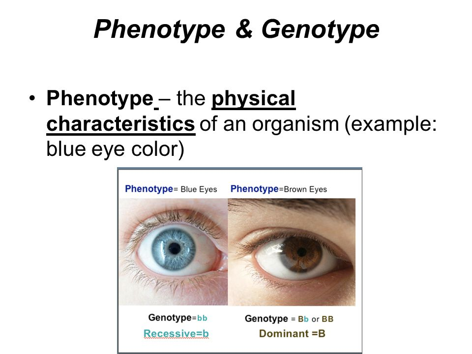 Phenotype & Genotype Phenotype – the physical characteristics of an organism (example: blue eye color)