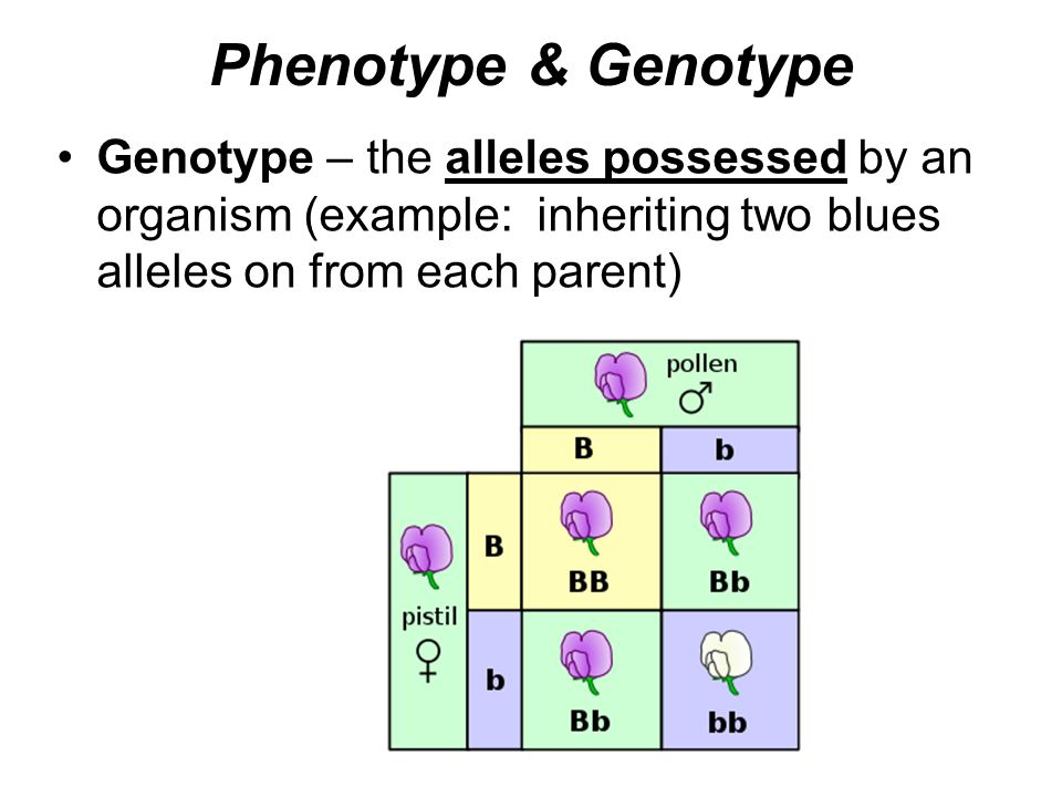 Phenotype & Genotype Genotype – the alleles possessed by an organism (example: inheriting two blues alleles on from each parent)