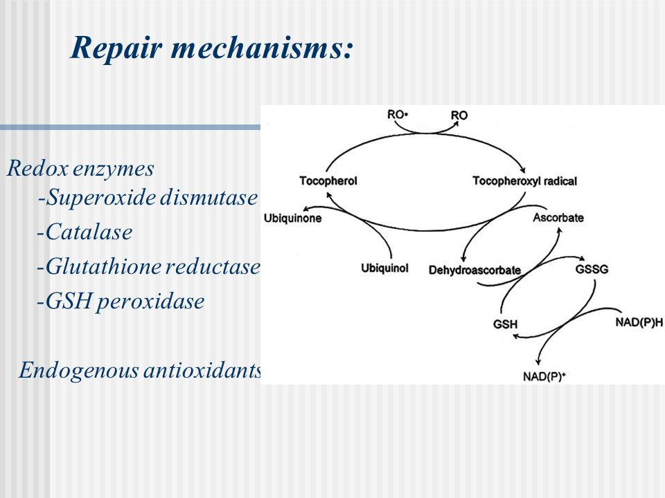 Repair mechanisms: Redox enzymes -Superoxide dismutase -Catalase