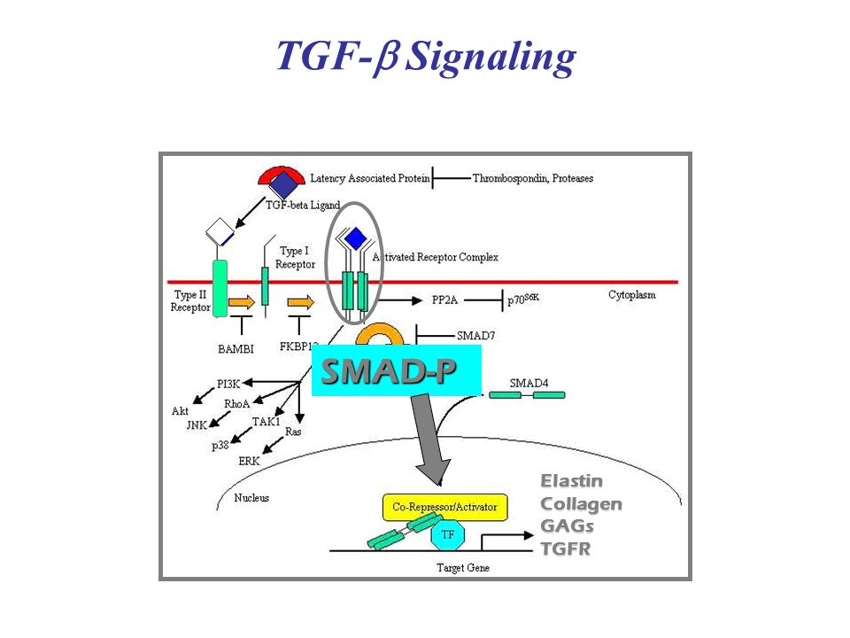 TGF- Signaling SMAD-P Elastin CollagenGAGs TGFR