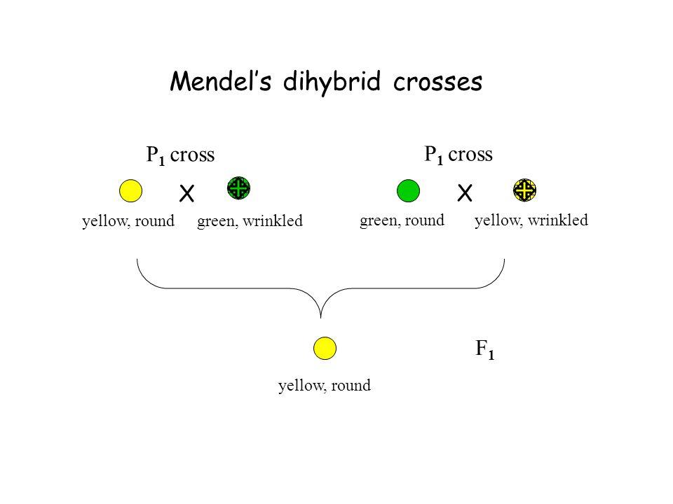 Mendel's dihybrid crosses