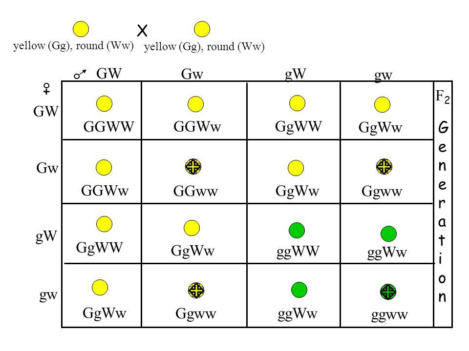 X GW Gw gW gw + F2 GGWW GGWw GgWW GW GgWw Generation Gw GGWw GGww GgWw