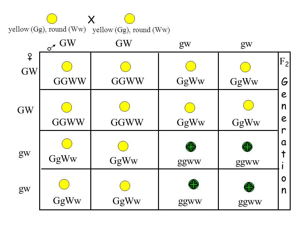 X GW GW gw gw + F2 GW GGWW GGWW GgWw GgWw Generation GW GGWW GGWW GgWw