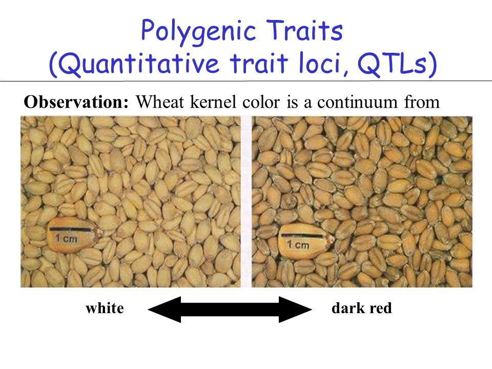 Polygenic Traits (Quantitative trait loci, QTLs)