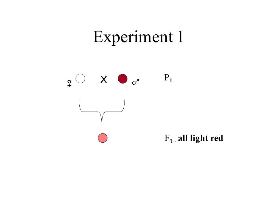 Experiment 1 P1 X + o o F1 - all light red