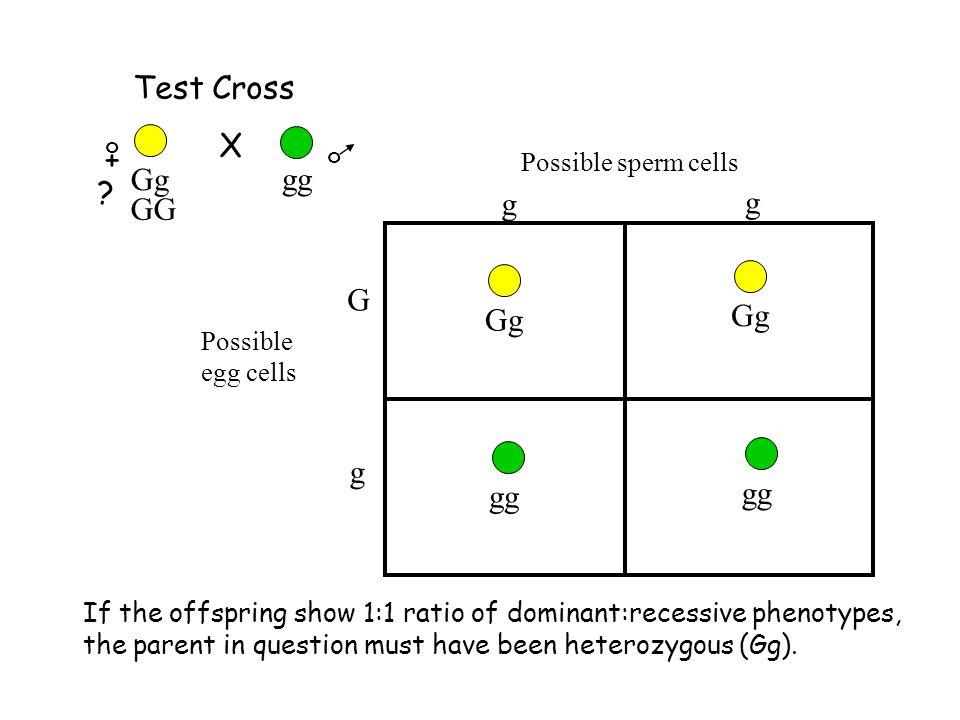 Test Cross X + g G gg Gg Gg gg GG Possible sperm cells Possible