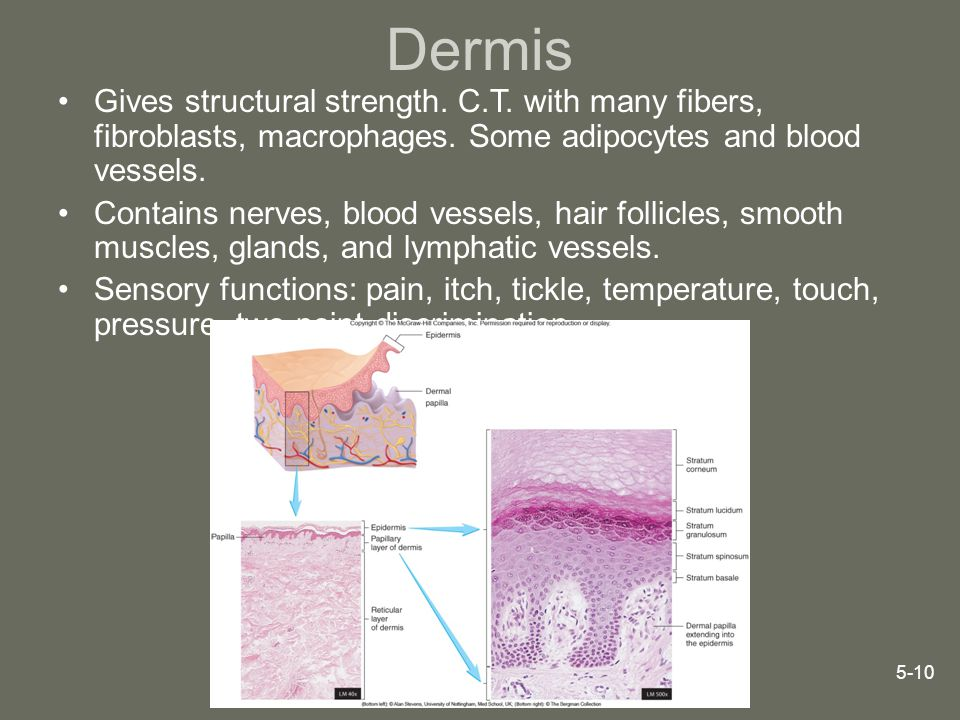 Dermis Gives structural strength. C.T. with many fibers, fibroblasts, macrophages. Some adipocytes and blood vessels.