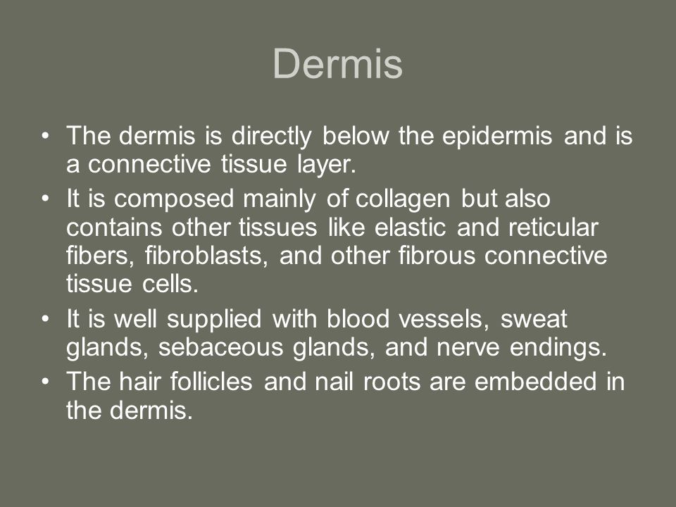 Dermis The dermis is directly below the epidermis and is a connective tissue layer.