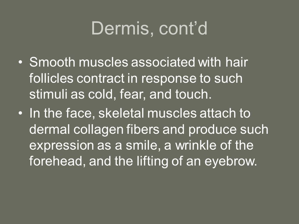 Dermis, cont'd Smooth muscles associated with hair follicles contract in response to such stimuli as cold, fear, and touch.