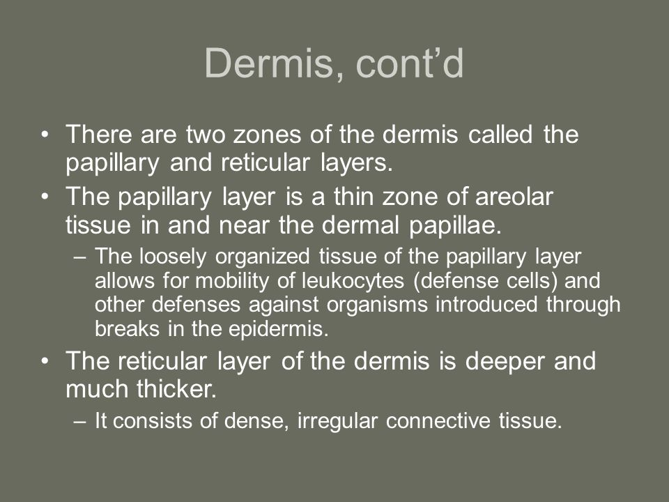 Dermis, cont'd There are two zones of the dermis called the papillary and reticular layers.