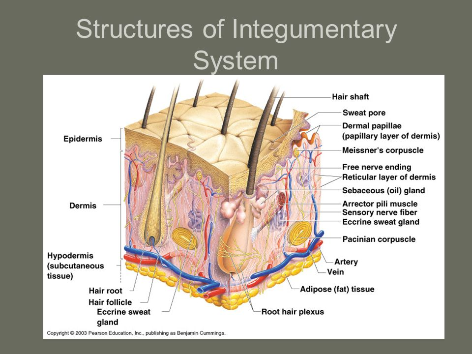 Structures of Integumentary System