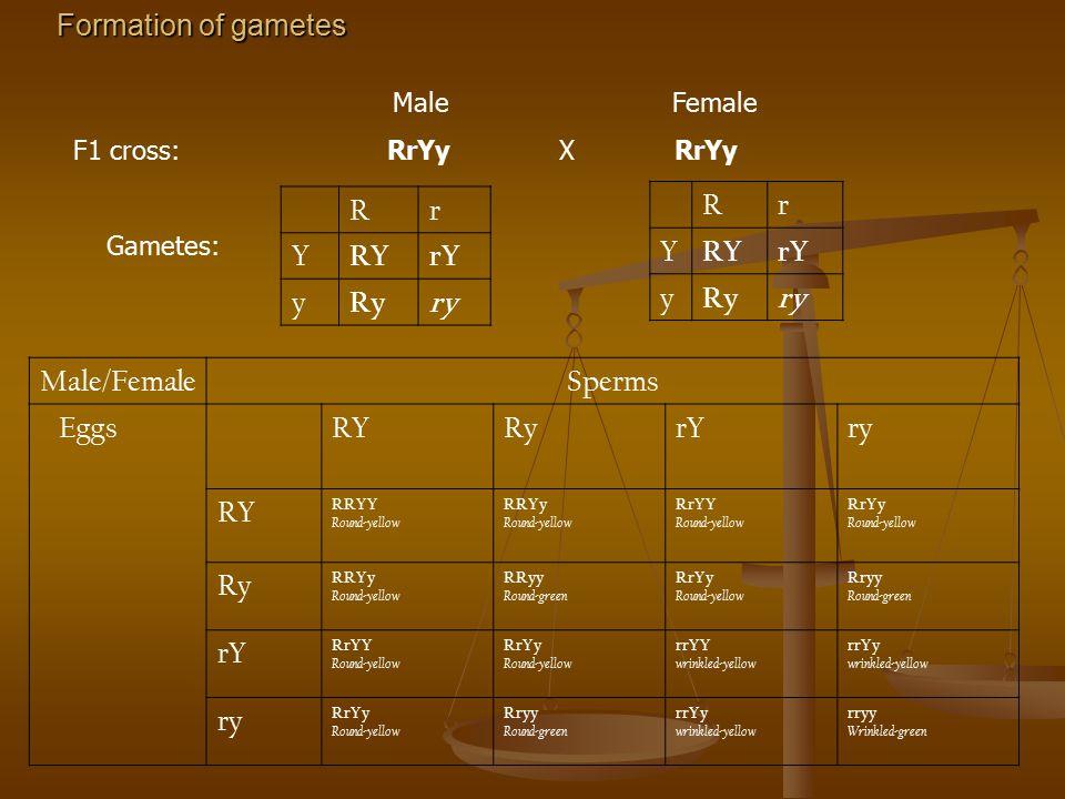 Formation of gametes R r Y RY rY y Ry ry R r Y RY rY y Ry ry