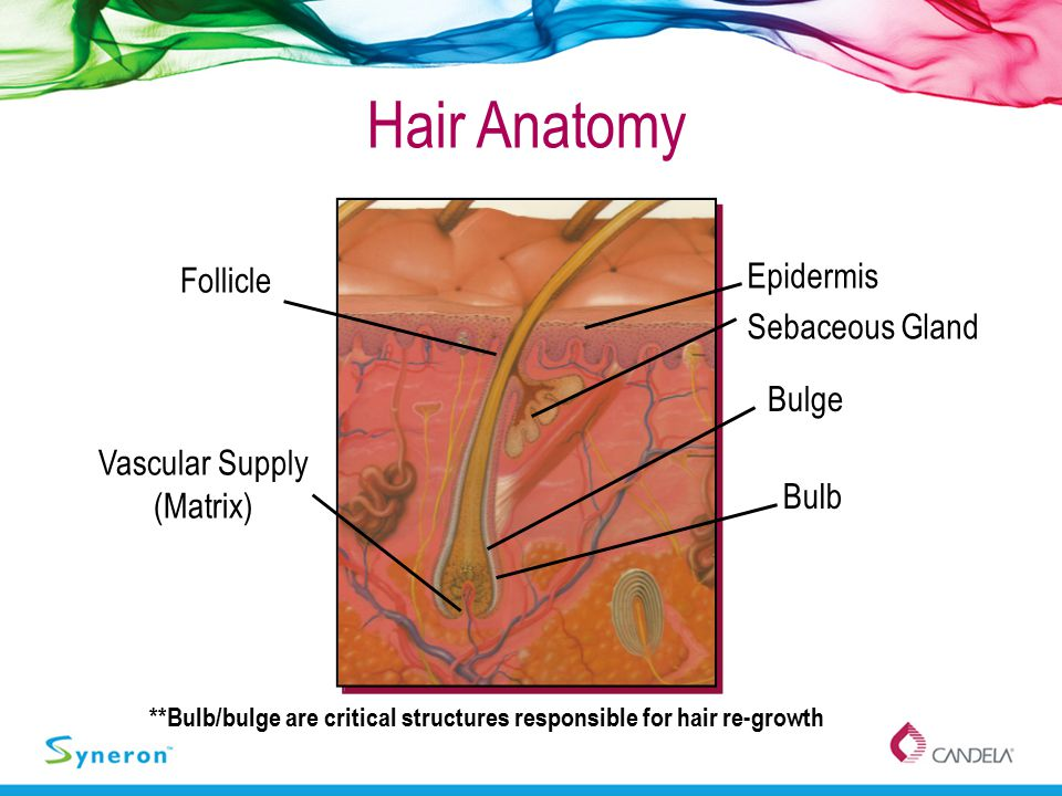 **Bulb/bulge are critical structures responsible for hair re-growth