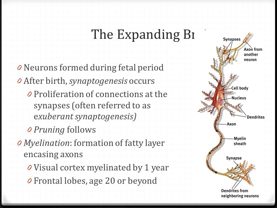 The Expanding Brain Neurons formed during fetal period