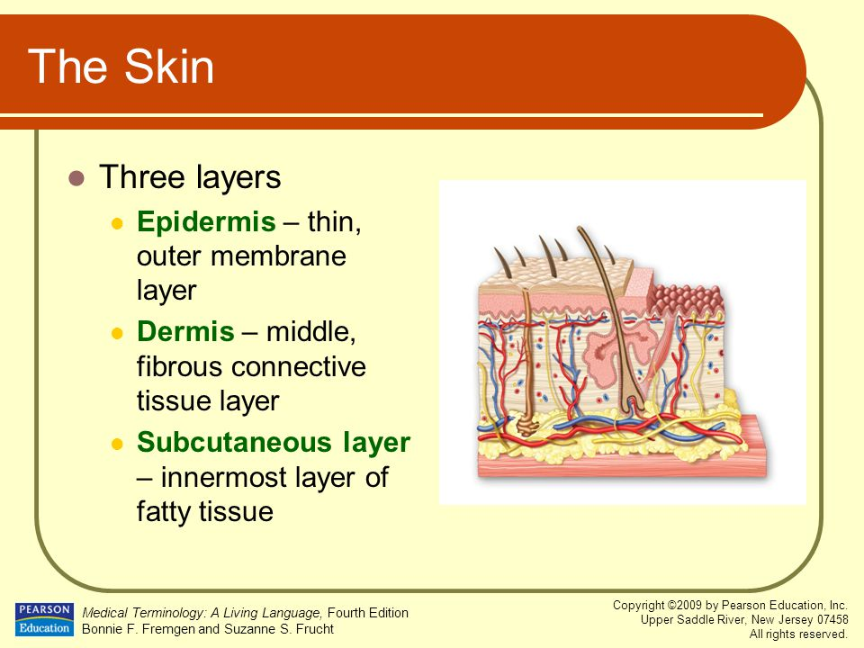 The Skin Three layers Epidermis – thin, outer membrane layer