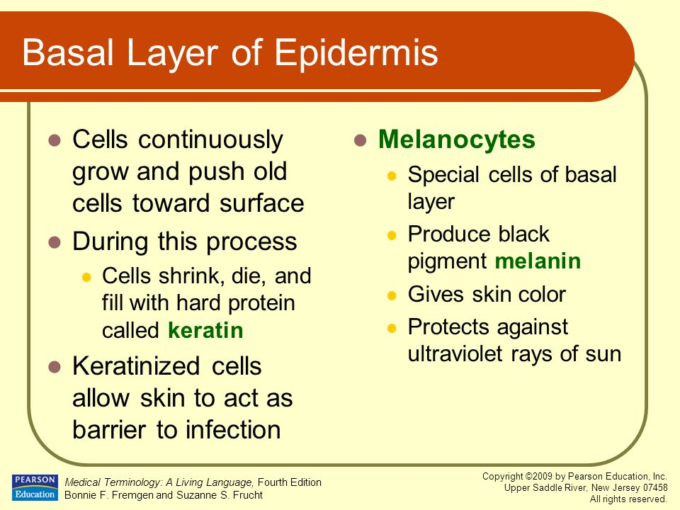 Basal Layer of Epidermis