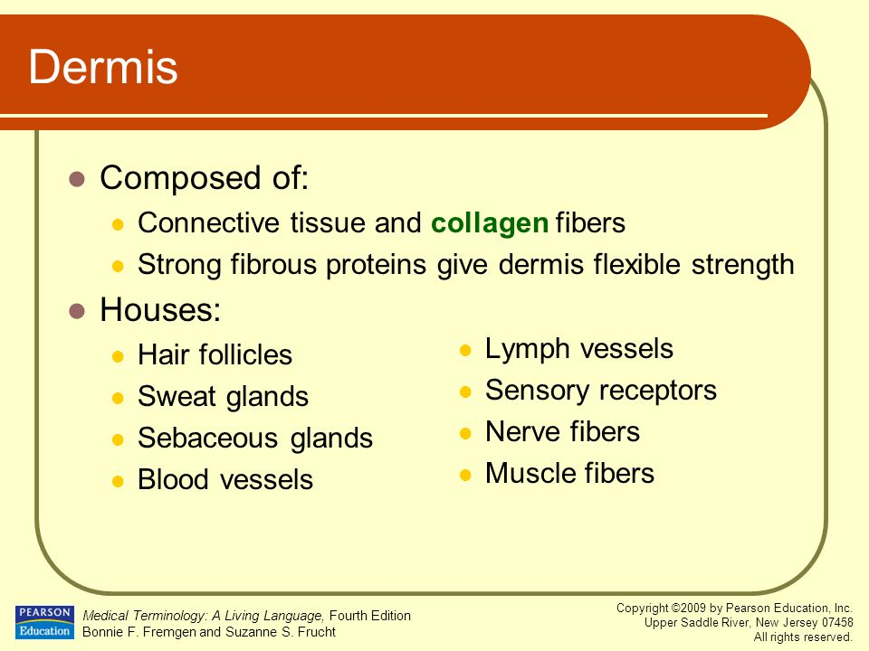 Dermis Composed of: Houses: Connective tissue and collagen fibers