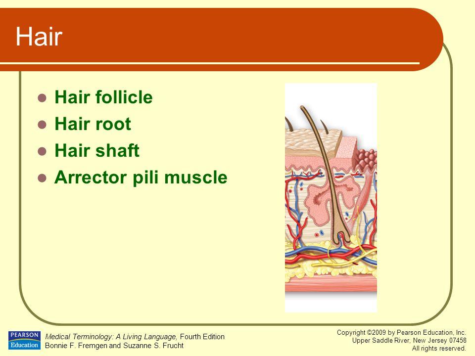 Hair Hair follicle Hair root Hair shaft Arrector pili muscle