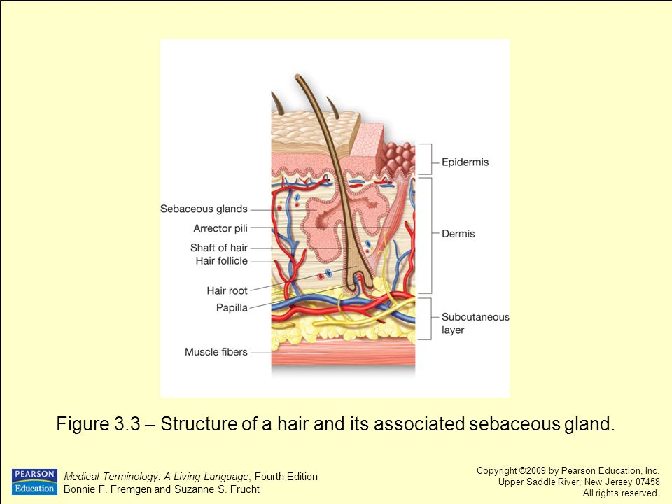 Figure 3.3 – Structure of a hair and its associated sebaceous gland.