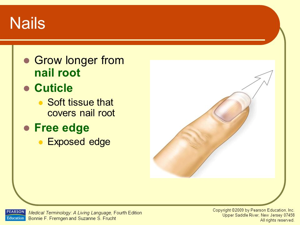Nails Grow longer from nail root Cuticle Free edge
