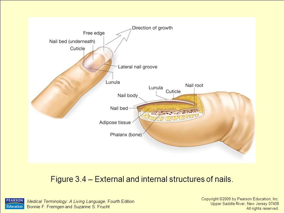 Figure 3.4 – External and internal structures of nails.