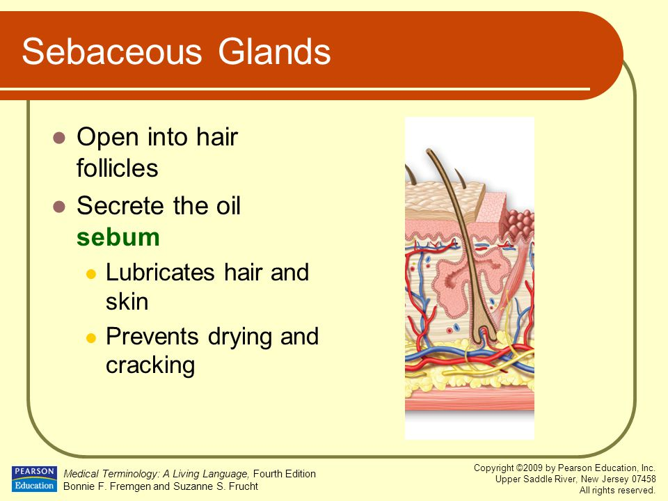 Sebaceous Glands Open into hair follicles Secrete the oil sebum