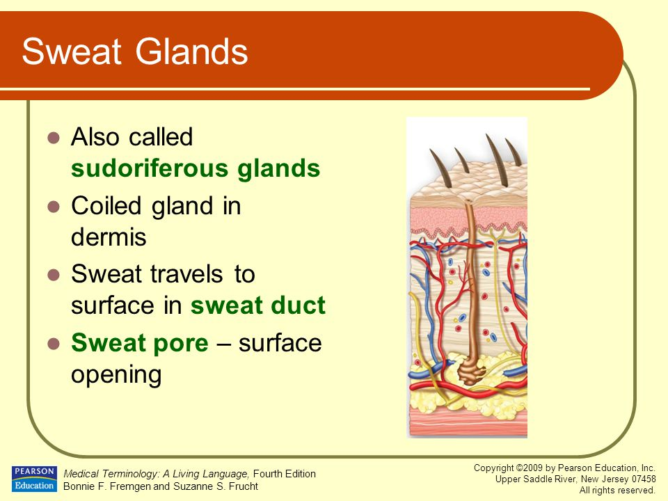 Sweat Glands Also called sudoriferous glands Coiled gland in dermis
