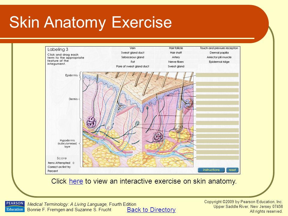 Click here to view an interactive exercise on skin anatomy.