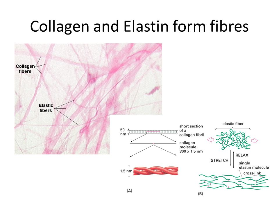 Collagen and Elastin form fibres