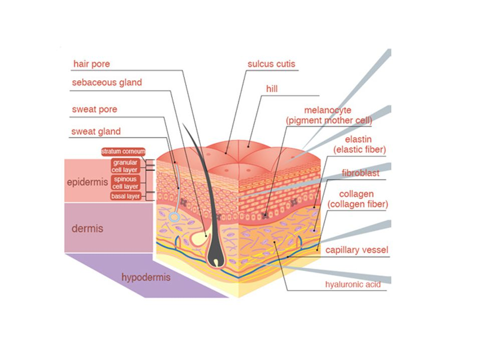 If the amount of collagen fibres decreases then the skin begins to sag and be less plump.