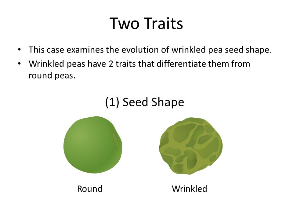 Two Traits This case examines the evolution of wrinkled pea seed shape. Wrinkled peas have 2 traits that differentiate them from round peas.
