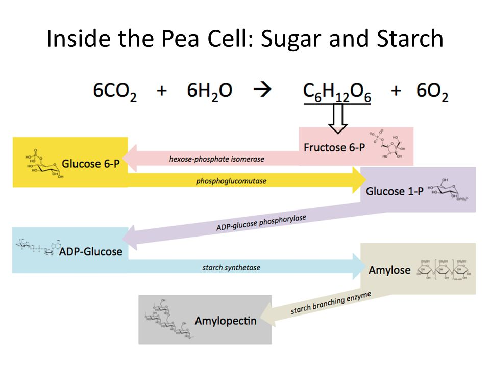 Inside the Pea Cell: Sugar and Starch