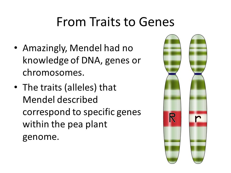 From Traits to Genes Amazingly, Mendel had no knowledge of DNA, genes or chromosomes.